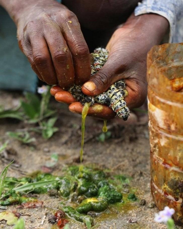 Ăn Sâu bướm Mopane