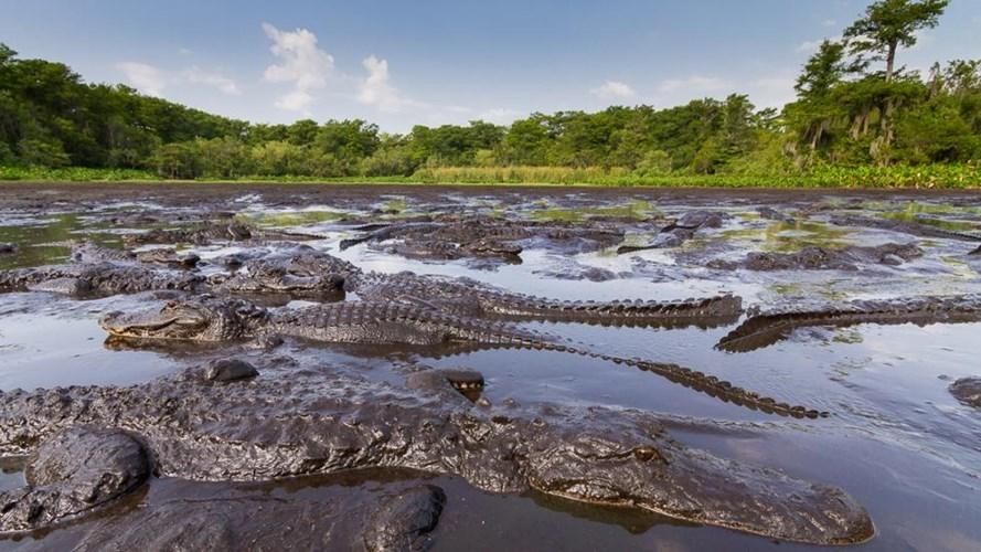 Đầm lầy Manchac - Đầm lầy cá sấu