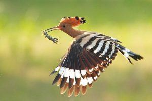 Chim Đầu Rìu – Một Trong Những Loài Chim Đẹp Ở Việt Nam