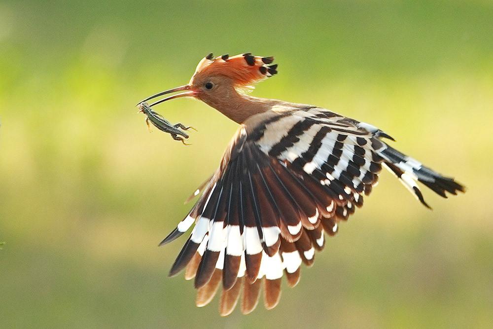 Chim đầu rìu