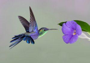 Chim Ruồi – Loài chim được xem nhỏ nhất thế giới