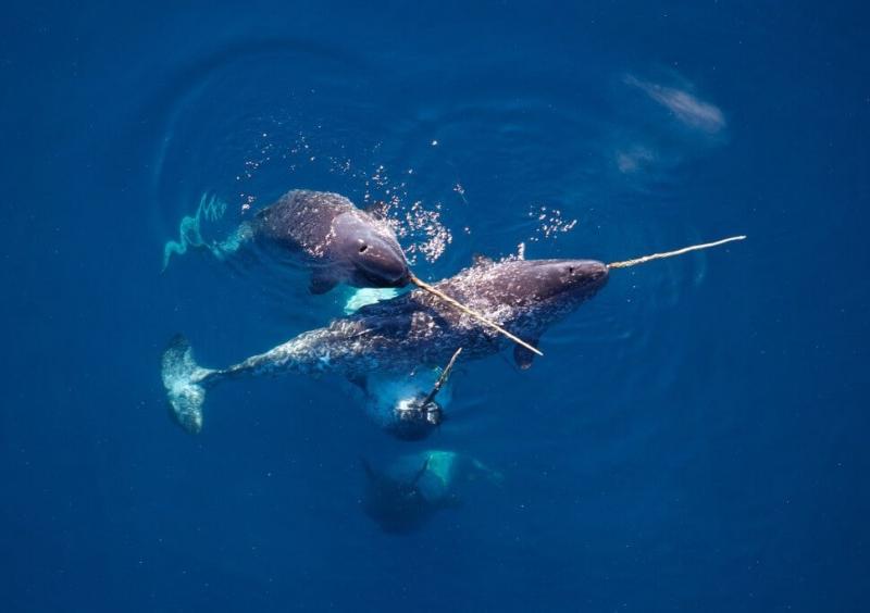 Đàn kỳ lân biển