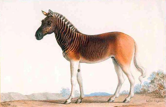 Ngựa Quagga - Loài vật đã tuyệt chủng