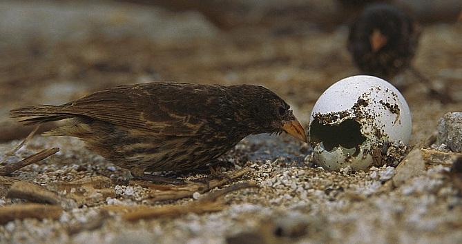 Brown-headed Cowbird đang ăn trứng