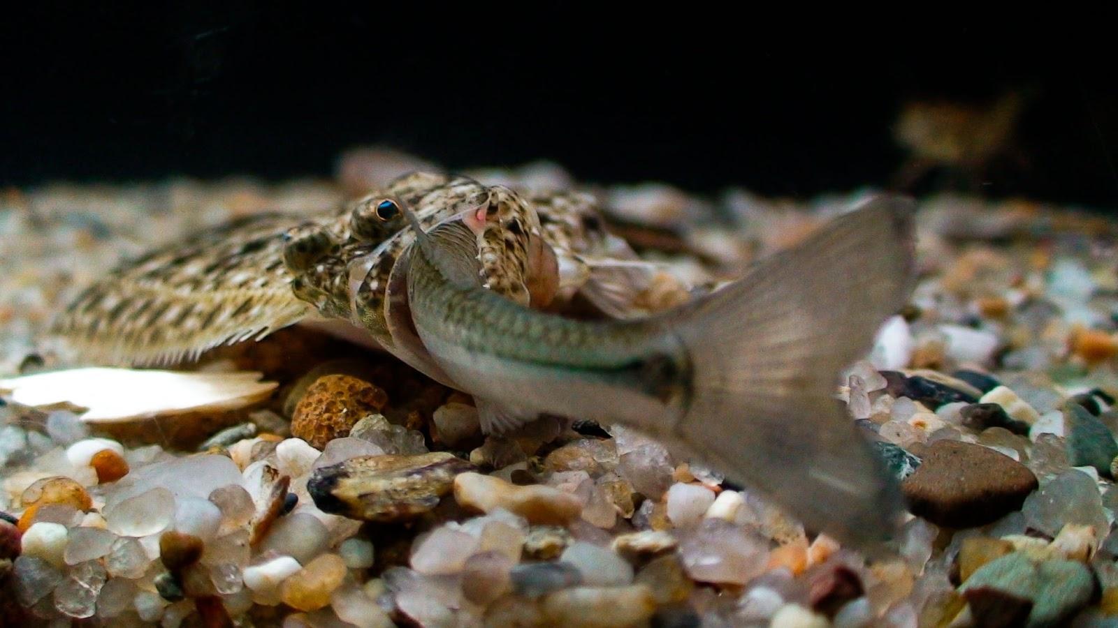Cá bẹt ăn cá