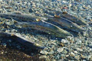 Cá Hồi & Hành Vi Sinh Sản Kỳ Lạ
