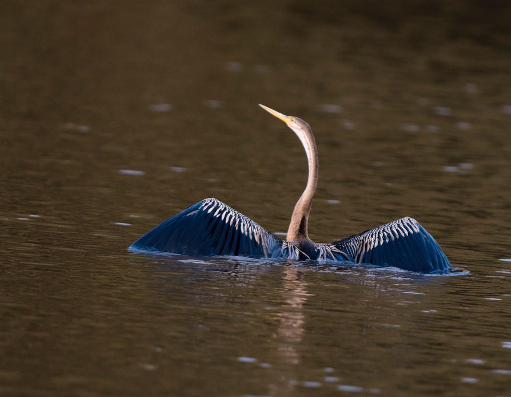 Chim cổ rắn châu Phi