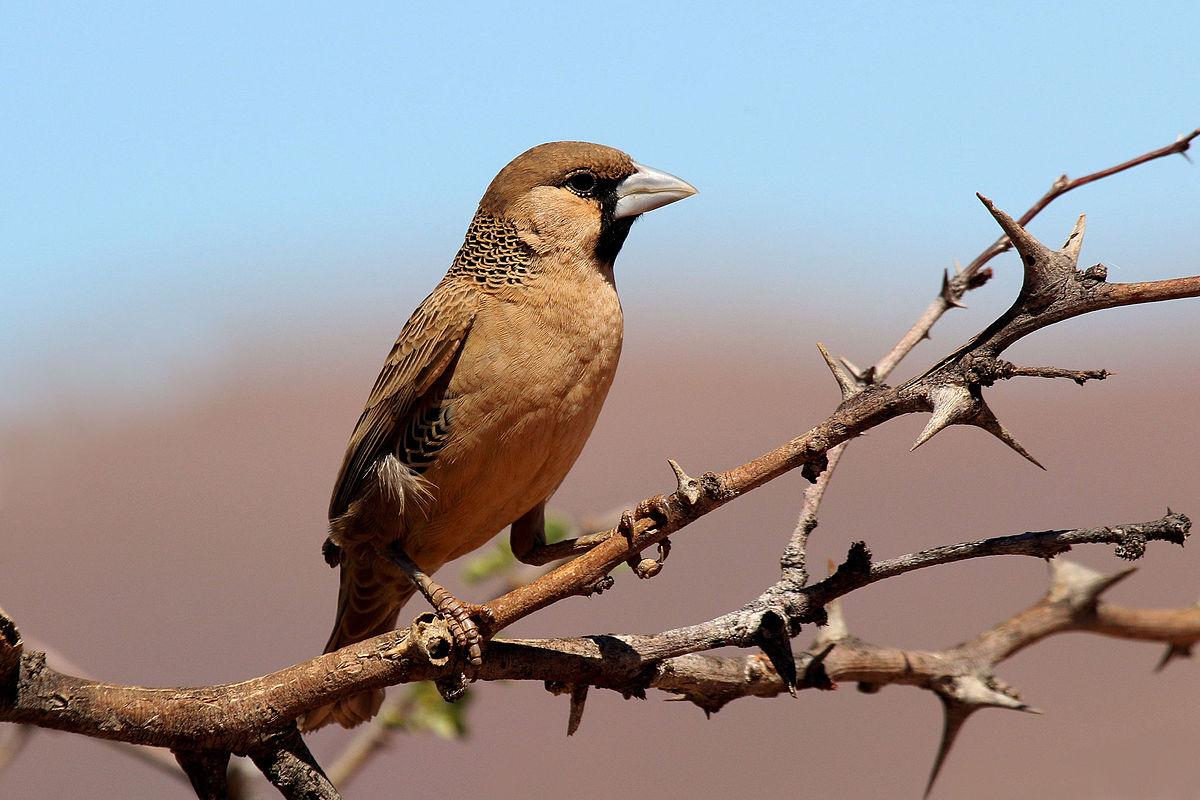 Chim thợ dệt