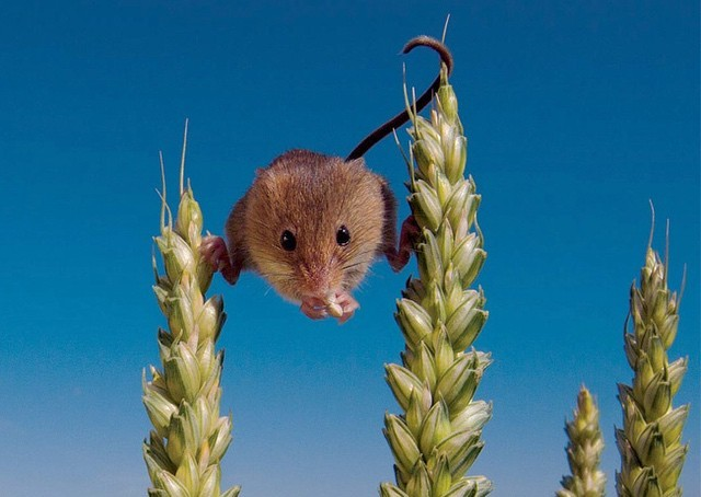 Chuột choắt tai nhỏ