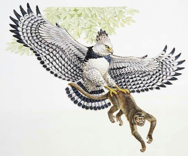 Đại bàng Harpy săn khỉ
