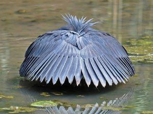 Diệc đen Loài Chim Săn Mồi Có Cách Săn Mồi Kỳ Lạ