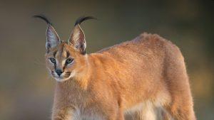 Mèo Rừng Tai Đen – Bậc Thầy Săn Mồi