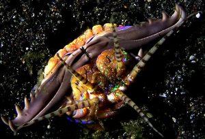 Sâu Bobbit | Loài thủy quái ẩn mình dưới đáy biển