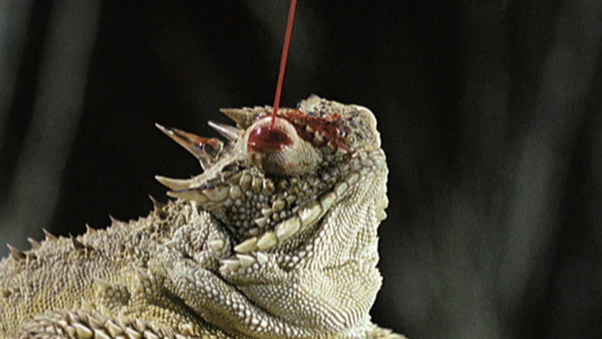 Thằn lằn sừng bắn máu từ mắt để tự vệ