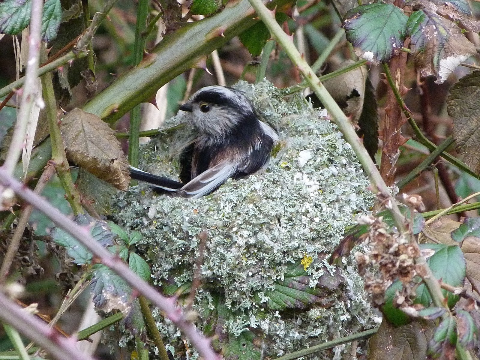 Tổ chim bạc má đuôi dài