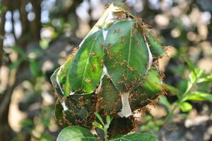 Kiến vàng | Loài vật làm tổ bằng lá trên cây