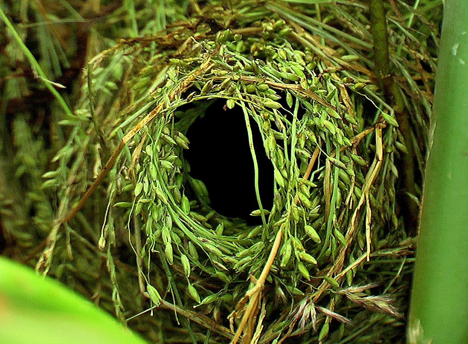 Tổ chim Common waxbill