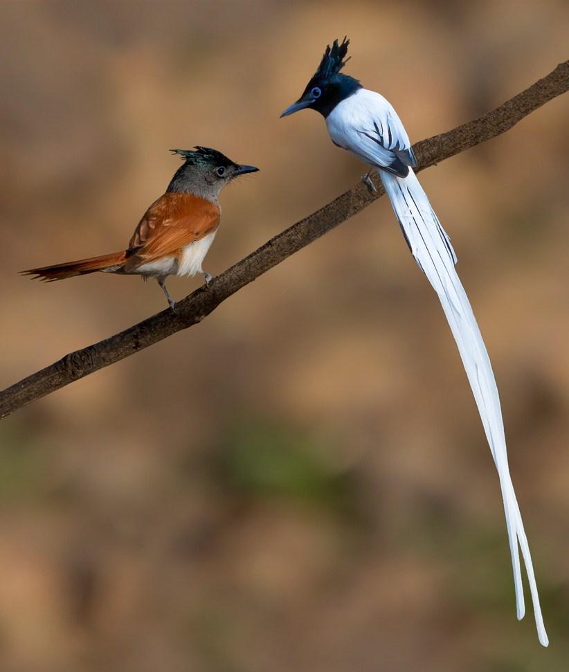 Chim đớp ruồi thiên đường châu Á