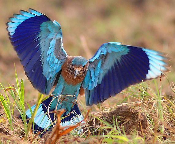 Chim sả rừng và con mồi