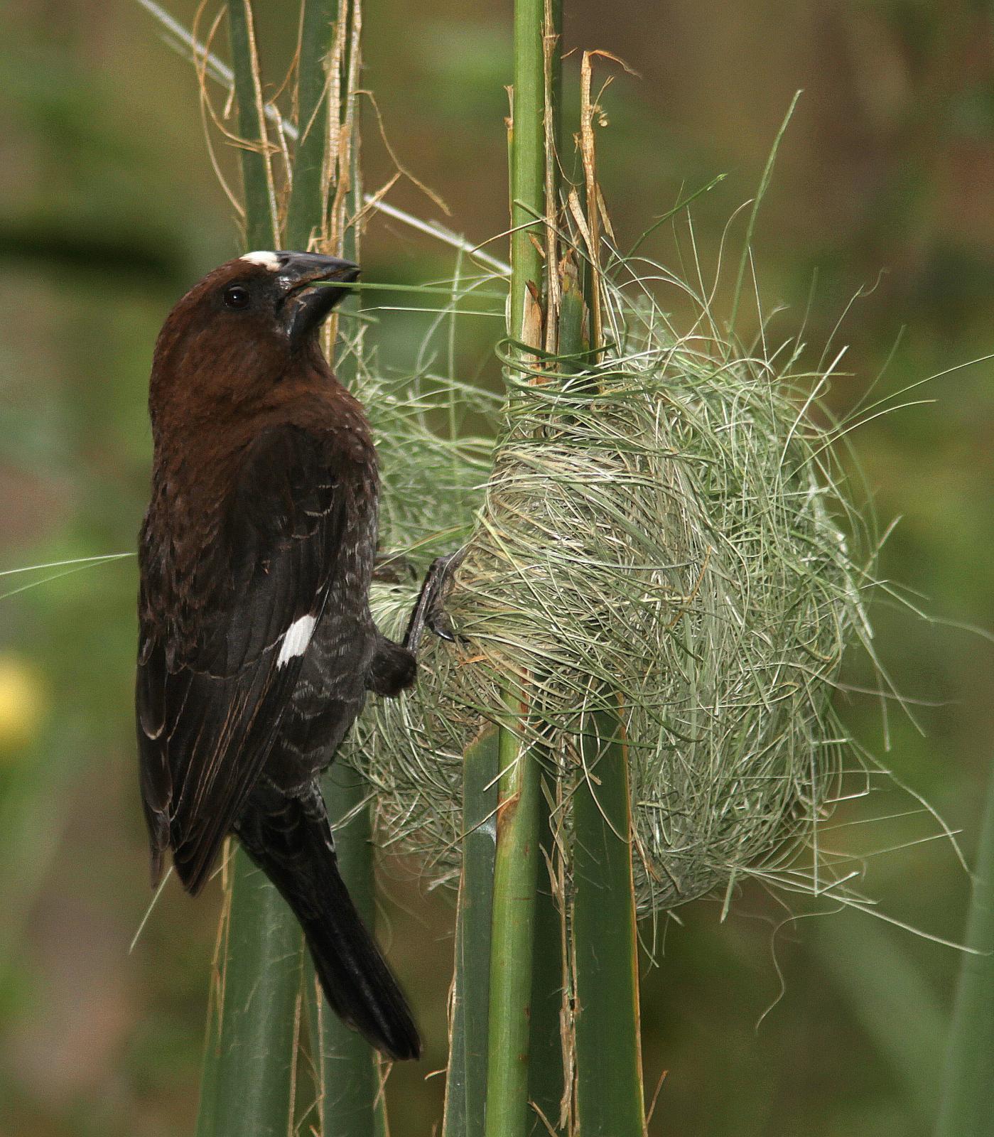 Tổ chim sẻ thợ dệt