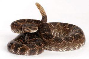 Rắn đuôi chuông – Loài rắn cực độc