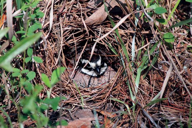 Tổ chim Northern bobwhite