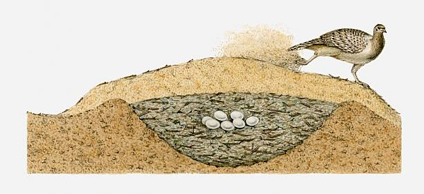 Tổ và trứng chim Malleefowl