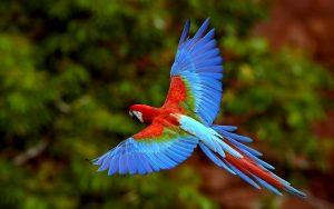 Vẹt đỏ đuôi dài – Loài chim tuyệt đẹp
