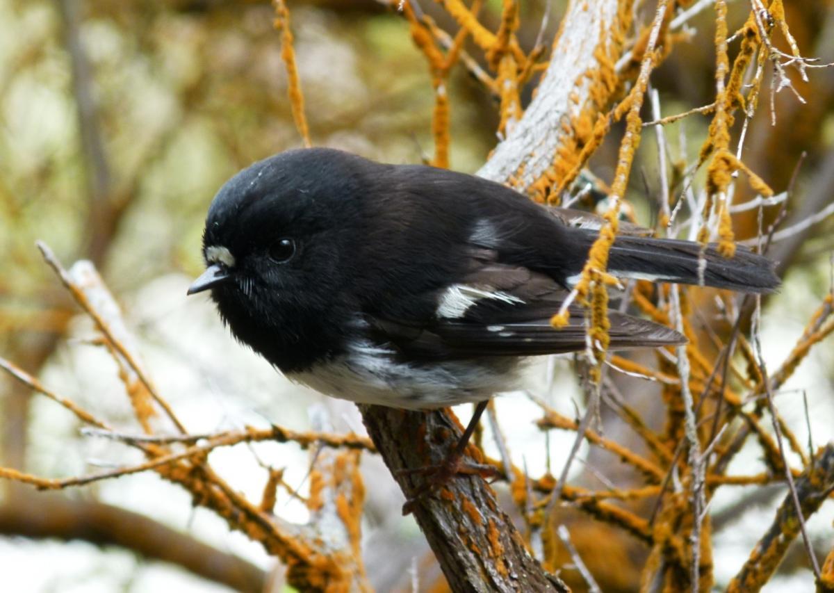 Chim bạc má Snares