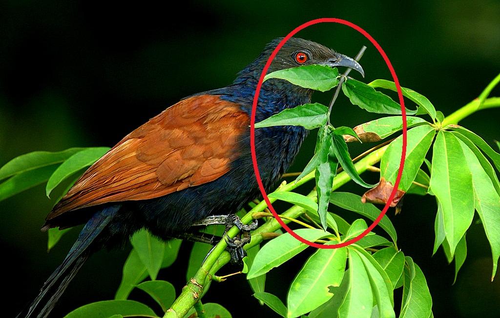Chim bìm bịp và cây thuốc chữa lành xương