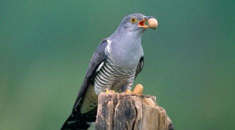 Chim cuckoo