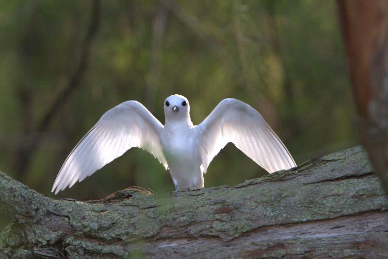 Chim nhàn trắng