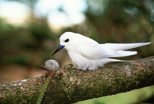 Nhàn trắng không làm tổ mà đẻ trứng ngay trên cành cây