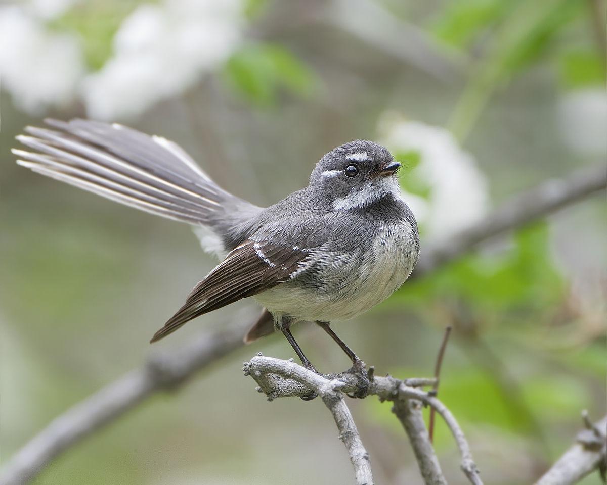 Chim rẻ quạt xám / Grey fantail