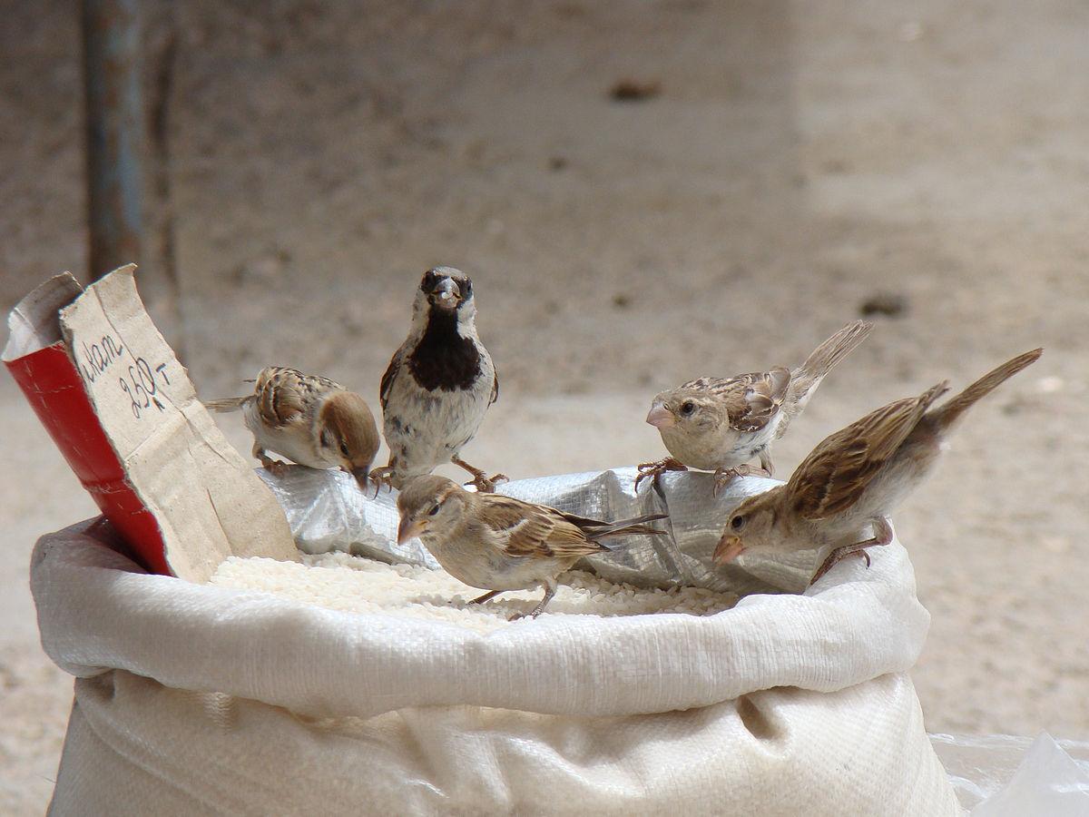 Chim sẻ nhà ăn gạo