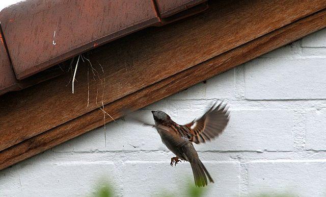 Tổ chim sẻ nhà