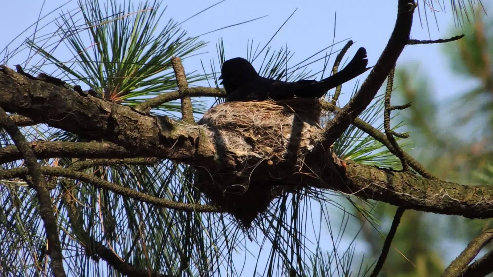 Tổ chim chèo bẻo