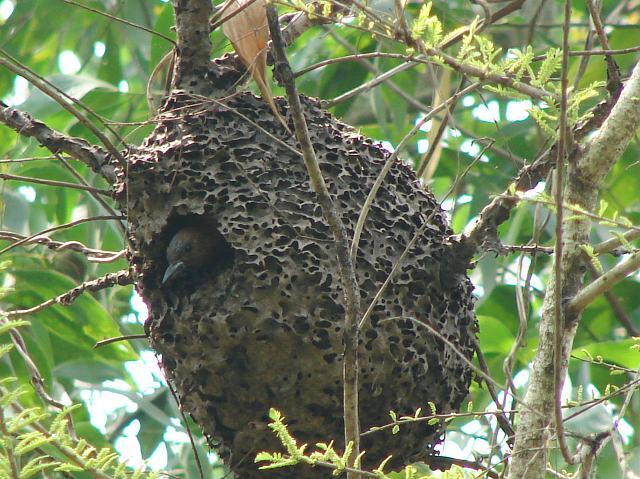 Tổ chim gõ kiến nâu