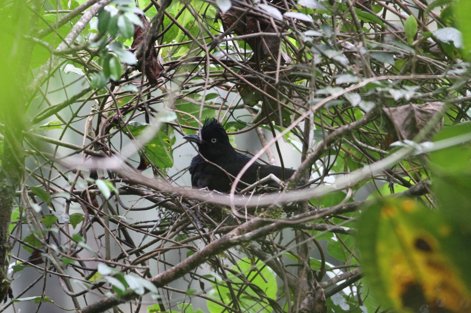 Tổ chim ô đen