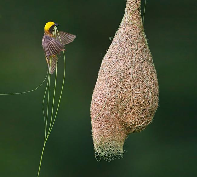 Tổ chim rồng rộc