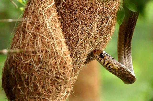 Tổ chim rồng rộc và con rắn