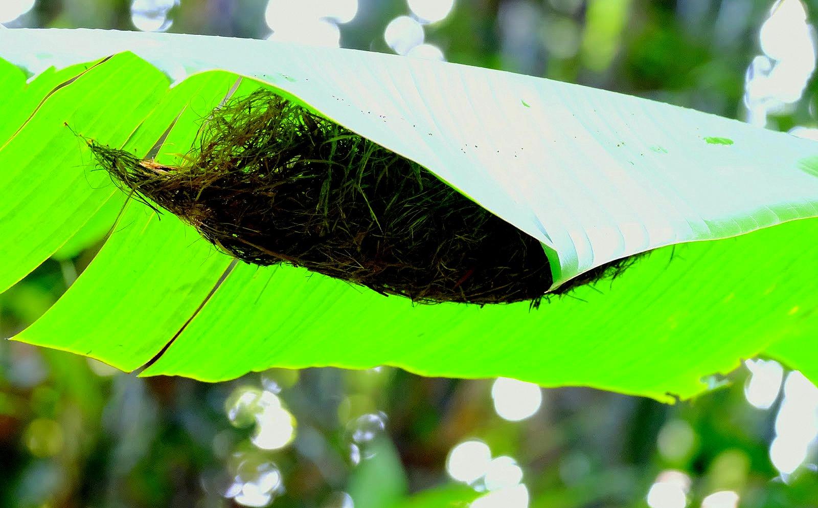 Tổ chim Long-billed Spiderhunter