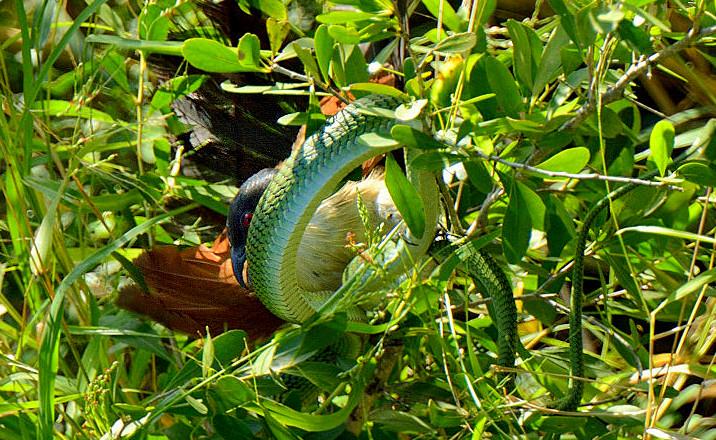 Bìm bịp bụng trắng nhỏ săn bắt rắn xanh