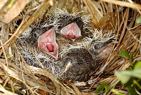 Tổ và chim non bìm bịp trắng bụng nhỏ
