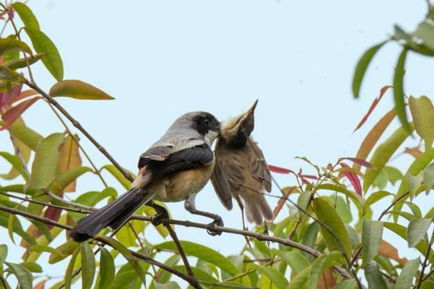 Con mồi của chim bách thanh bị ghim vào gai nhọn