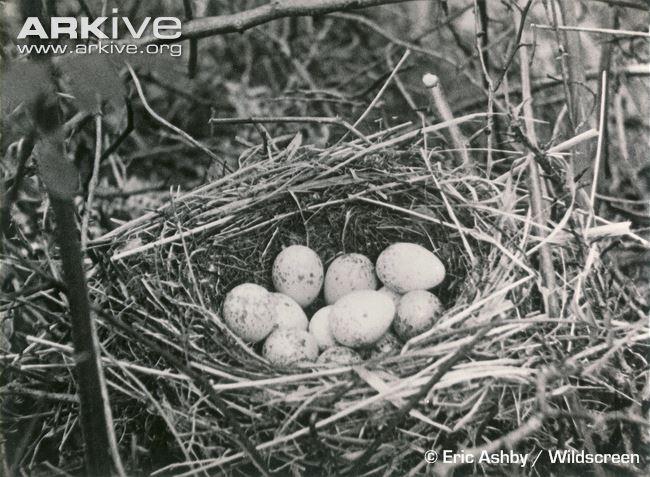 Tổ chim bách thanh