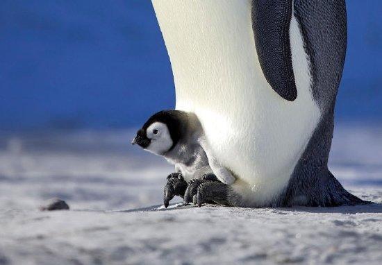 Chim cánh cụt non