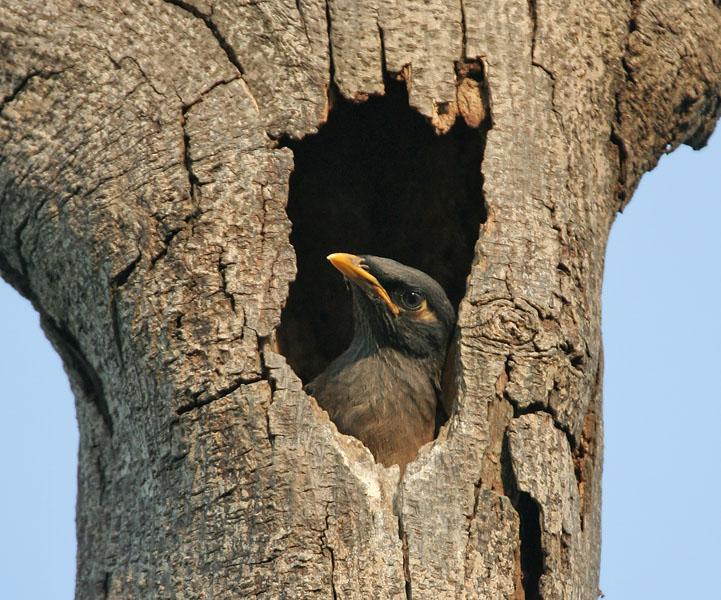 Tổ chim sáo nâu