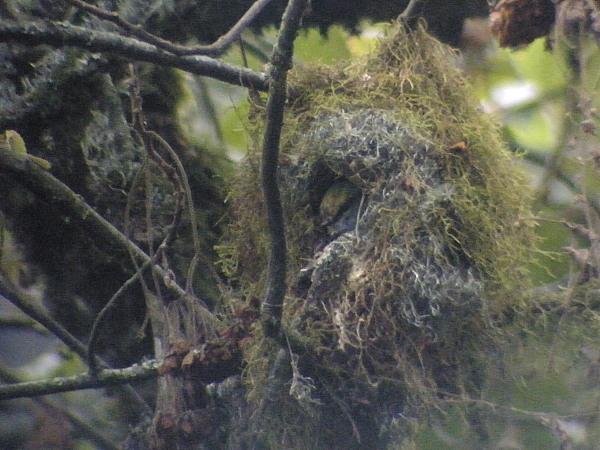 Tổ chim Mỏ rộng Grauer