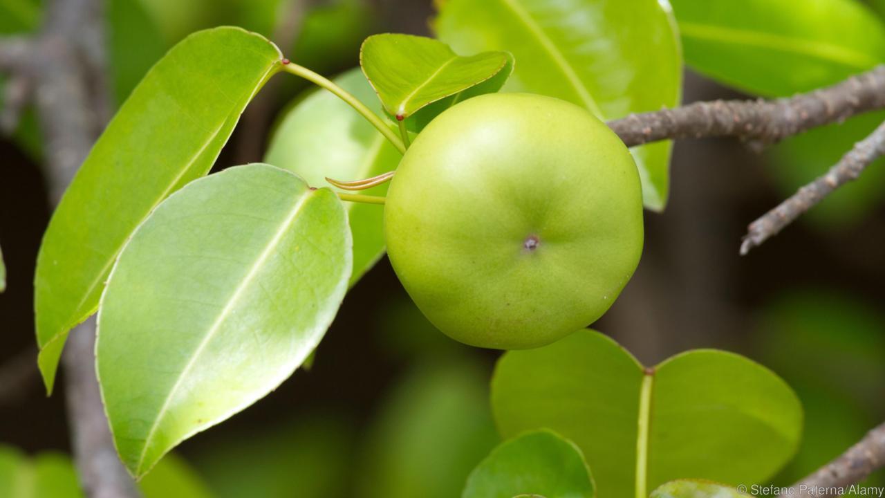 Manchineel - Cây chứa độc tố